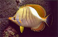 Yellowhead butterflyfish - Allan Townsend