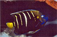 Yellowtail angelfish - Allan Townsend